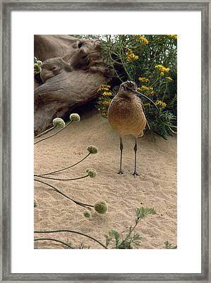 Long Billed Sandpiper Framed Print