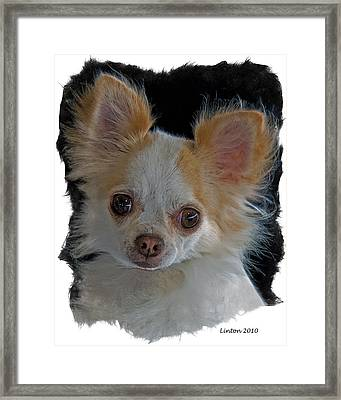 Long Coat Chihuahua Framed Print by Larry Linton