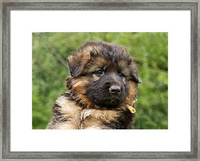 Long Coated Puppy Framed Print by Sandy Keeton