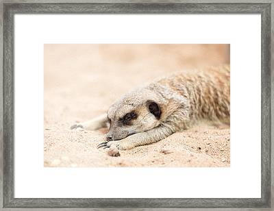 Long Day In Meerkat Village Framed Print