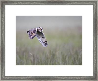 Long Eared Owl Hunting At Dusk Framed Print