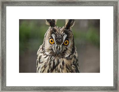 Long-eared Owl Framed Print