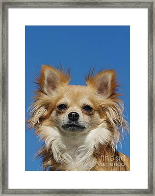 Long-haired Chihuahua Framed Print by Brinkmann/Okapia