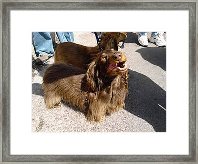 Long Haired Dachshund Making A Face Framed Print