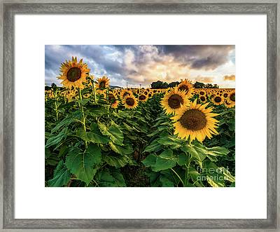 Long Island Sunflowers  Framed Print