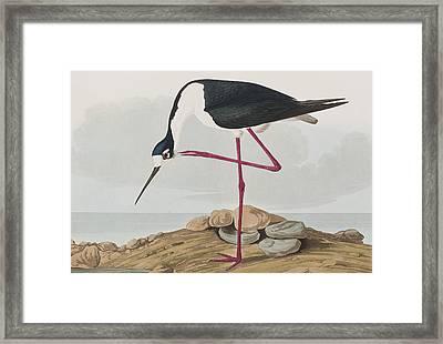 Long-legged Avocet Framed Print