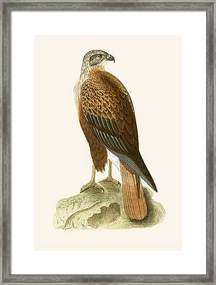 Long Legged Buzzard Framed Print by English School