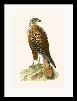 Buzzard Paintings Framed Prints