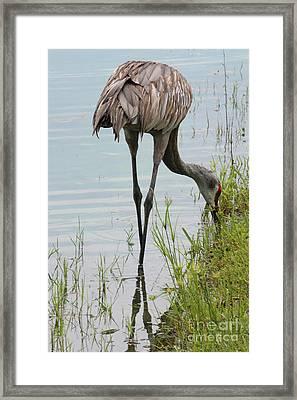 Long-legged Sandhill Framed Print by Carol Groenen