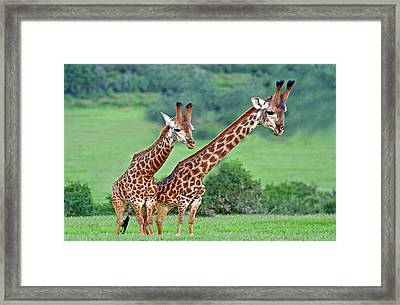 Long Necks Together Framed Print by Bruce Iorio