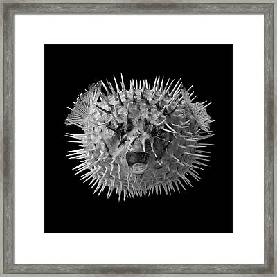 Long Spined Porcupine Fish Framed Print by Jim Hughes