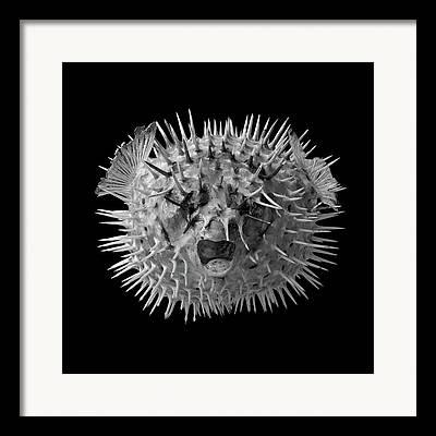 Porcupine Fish Framed Prints
