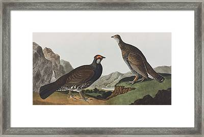 Long-tailed Or Dusky Grous Framed Print by John James Audubon