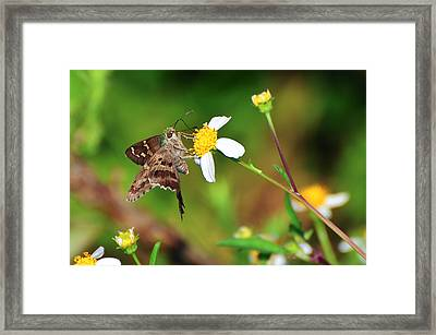 Long-tailed Skipper Butterfly Framed Print by Rich Leighton