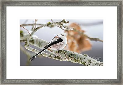 Framed Print featuring the photograph Long-tailed Tit by Torbjorn Swenelius
