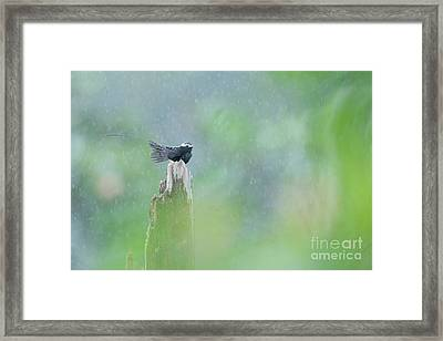 Long-tailed Tyrant In The Rain Costa Rica. Framed Print