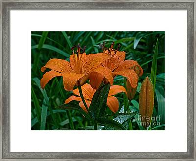 Long Valley Lily Framed Print