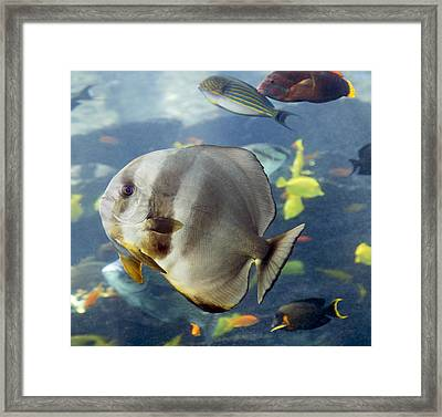 Longfin Batfish Framed Print by Betsy Knapp
