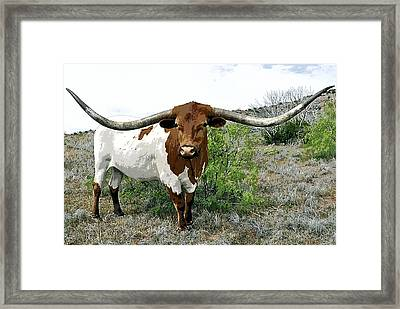 Longhorn Bull Of Texas Framed Print by Daniel Hagerman
