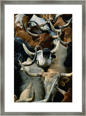 Longhorn Cattle Are Packed Framed Print by Joel Sartore