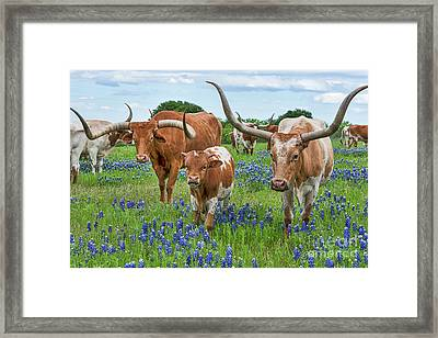 Longhorn Family In Bluebonnets Framed Print by Tod and Cynthia Grubbs