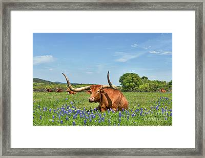 Longhorn In Bluebonnets Framed Print by Tod and Cynthia Grubbs