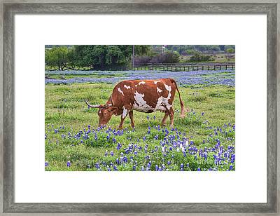 Longhorn In The Bluebonnets Framed Print by Tod and Cynthia Grubbs
