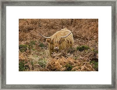 Longhorn On Dartmoor Framed Print