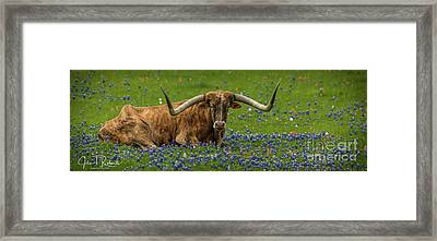 Longhorns And Bluebonnets Framed Print by John Roberts