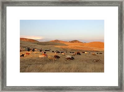 Longhorns Framed Print