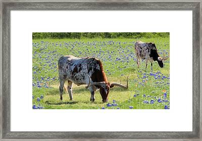 Longhorns In The Bluebonnets Framed Print by Janette Boyd