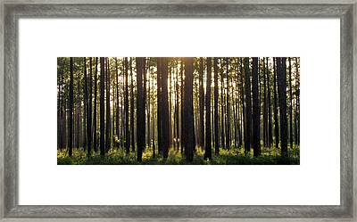 Longleaf Pine Forest Framed Print