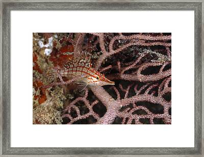 Longnose Hawkfish Hiding In Coral Framed Print by James Forte
