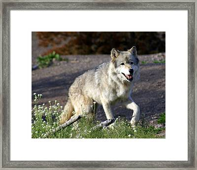 Lonly Wolf Framed Print by Marty Koch