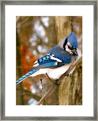 Look Of The Blue Jay Framed Print