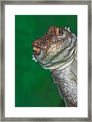Look Reptile, Lizard Interested By Camera Framed Print