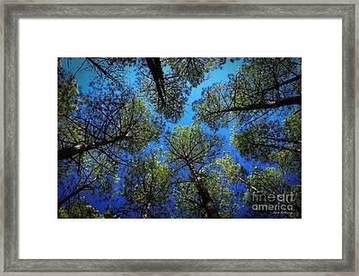 Look Up 3 Tall Pine Tree Art Framed Print