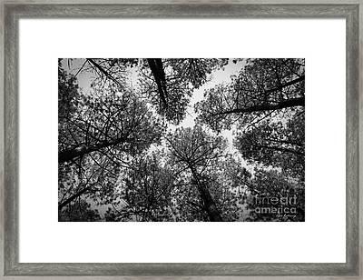 Look Up 4 B W Tall Pine Tree Art  The F Framed Print by Reid Callaway