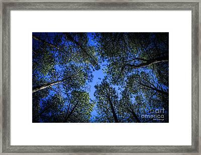 Look Up Tall Pine Tree Art Framed Print by Reid Callaway