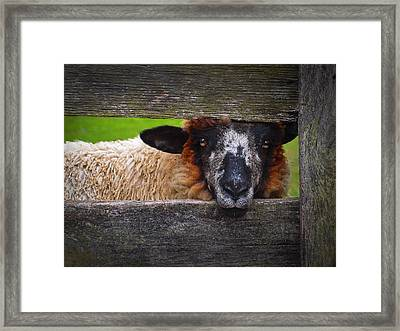 Lookin At Ewe Framed Print by Skip Hunt