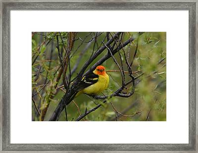 Looking At You - Western Tanager Framed Print