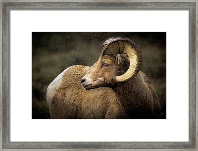 Looking Back - Bighorn Sheep Framed Print