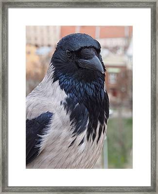Looking Back - Hooded Crow Framed Print by Philip Openshaw
