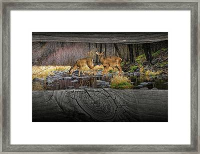 Looking Between The Fence Rails At Two White-tail Bucks Framed Print by Randall Nyhof