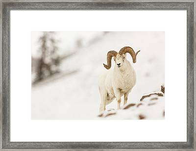 Looking For Ewes Framed Print