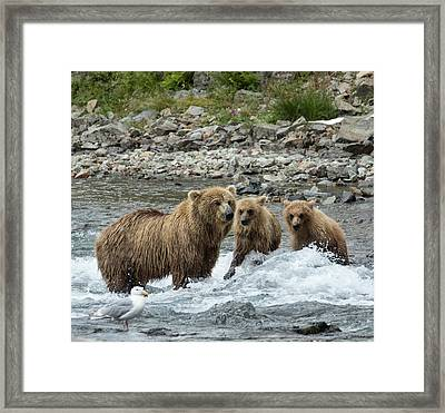 Framed Print featuring the photograph Looking For Sockeye Salmon by Cheryl Strahl