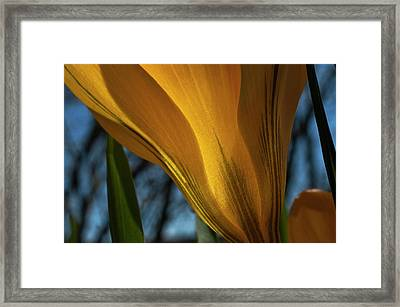 Looking Up At A Yellow Crocus Framed Print