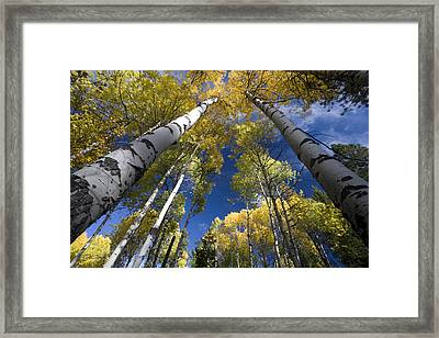 Looking Up At Autumn Aspens Framed Print by Ed Book