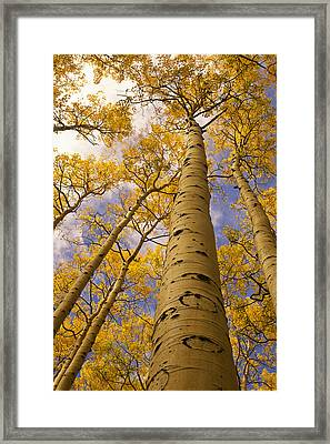 Looking Up At Towering Aspen Trees Framed Print by Ralph Lee Hopkins