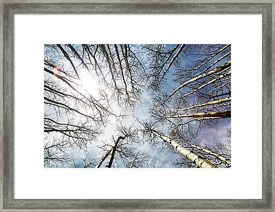 Looking Up On Tall Birch Trees Framed Print